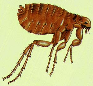 Cat Fleas & Ticks