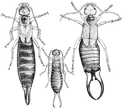 http://crawford.tardigrade.net/bugs/figures/earwig.jpg