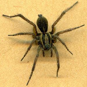 Braun segmentierte Spinne schwarzer Hintern, Fick sexy rothaarige frauen